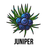 Juniper berries, sketch style vector illustration isolated on white background. Realistic hand drawing of juniper berries, evergreen plant used for making gin royalty free illustration