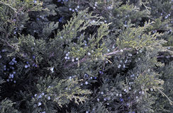 Juniper berries in Spring Stock Photography