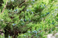 Juniper with berries. thuja evergreen coniferous tree close up.  royalty free stock photography