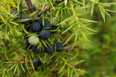 Juniper berry. Close up of the red juniper berry Royalty Free Stock Images