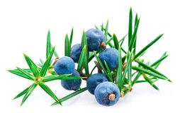 Juniper berry Royalty Free Stock Photos