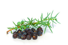 Juniper Berry and Green Branch. On White - Closeup Stock Image