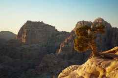 Juniper berry tree. On a cliff with scenic view in Petra, Jordan Stock Photography
