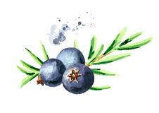 Juniper berry. Watercolor hand drawn illustration, isolated on white background.  vector illustration