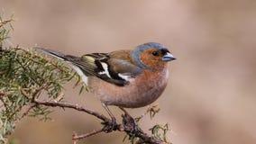 Juniper Bird stock image