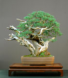 Juniper bonsai Stock Images