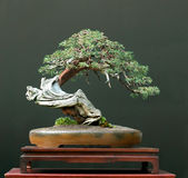 Juniper bonsai stock photos