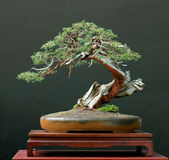 Juniper bonsai royalty free stock images