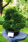 Juniper bonsai Royalty Free Stock Photo