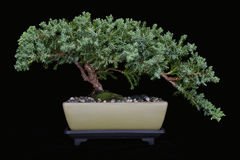 Juniper Bonsai on Black No 1 Royalty Free Stock Image