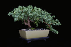 Juniper Bonsai on Black No 2 Stock Photo