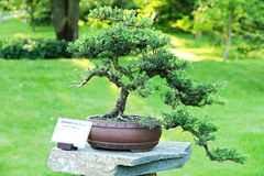 Juniper bonsai Royalty Free Stock Image
