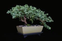 Free Juniper Bonsai On Black No 2 Stock Photo - 10595480