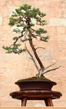 Juniper Bonsai Tree Stock Photography