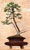 Juniper Bonsai Tree Stock Photography