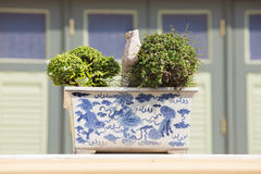 Juniper bonsai tree in the garden Stock Photo