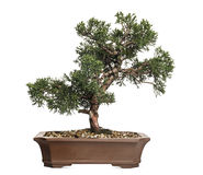 Juniper bonsai tree, Juniperus, isolated Royalty Free Stock Image