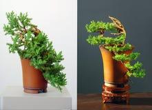 Juniper bonsai Stock Photography