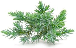 Juniper Branch Stock Image