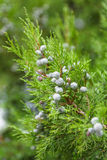 Juniper branch Royalty Free Stock Images