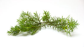 Juniper branch Royalty Free Stock Photography