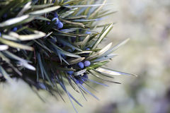 Juniper branch and berries Stock Images