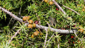 Juniper. Branch with berries, close-up stock photo