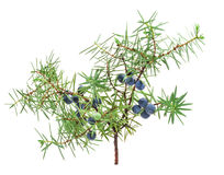 Juniper branch with berries Stock Photos