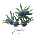 Juniper Branch with Berries in Realistic Style. Juniper Branch with Berries. Realistic Elements for Labels of Cosmetic Skin Care Product Design. Vector Isolated royalty free illustration