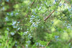 Juniper branch with berries. thuja evergreen coniferous tree close up stock image