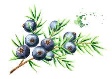 Juniper branch with berries. Watercolor hand drawn illustration, isolated on white background.  vector illustration