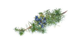 Juniper branch stock images