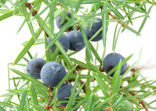Juniper branch with berries Royalty Free Stock Image