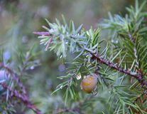 Juniper branch with berry, close up. Morning dew on the evergreen leaves of Juniper with one berry and with natural background Royalty Free Stock Images