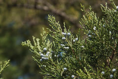 Juniper Royalty Free Stock Images