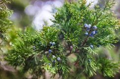 Juniper branch with female cones Stock Images