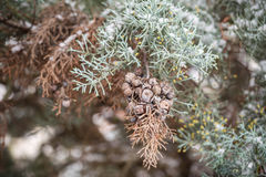Juniper branch with fruit in snow Stock Photos