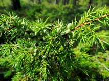 Juniper. Branch with green berries Royalty Free Stock Photography