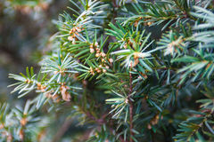 Juniper branch with pollen-producing male cones Stock Photography