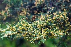 Juniper branch with pollen-producing male cones Stock Photos