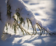 Juniper branch in the snow. Juniper twig bent from snow Stock Photography