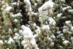 Juniper branch under snow Stock Photography