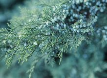Juniper branches with blue berrie. Juniper grows in the garden. On the branches of blue berries. Beautiful green branches.early morning in the garden royalty free stock image