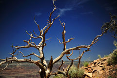 Juniper branches, Grand Canyon National Park, Arizona, USA. Twisted, weather-beaten branches from a Juniper tree stand silent sentry over the Grand Canyon Stock Photo
