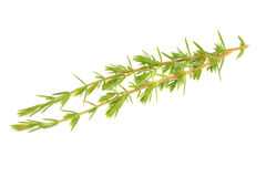 Juniper Branches Isolated on White Background Royalty Free Stock Photos