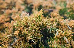 Juniper branches with  lots of yellow pollen-producing male cone Royalty Free Stock Image
