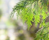 Juniper branches in  the sunlight. Juniper branches in  the sunshine Stock Photo