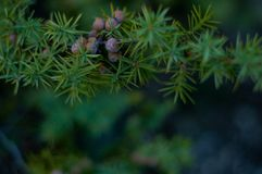 Juniper brunch. Evergreen tree. In forest. Beauty royalty free stock images