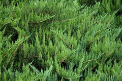 Juniper Bush Royalty Free Stock Photos