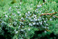 Juniper Bush Royalty Free Stock Image